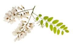 Λουλούδια ακακιών στοκ εικόνα με δικαίωμα ελεύθερης χρήσης