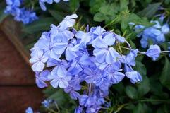 Λουλούδια ακρωτηρίων leadwort Στοκ φωτογραφία με δικαίωμα ελεύθερης χρήσης