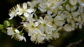Λουλούδια δαμάσκηνων στις συστάδες Στοκ Φωτογραφίες