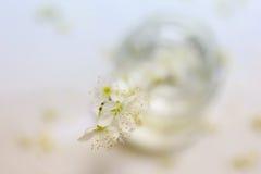 Λουλούδια δαμάσκηνων Στοκ εικόνα με δικαίωμα ελεύθερης χρήσης