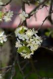 Λουλούδια δαμάσκηνων Στοκ φωτογραφία με δικαίωμα ελεύθερης χρήσης