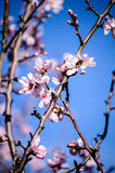 Λουλούδια αμυγδάλων με τη μέλισσα Στοκ εικόνες με δικαίωμα ελεύθερης χρήσης
