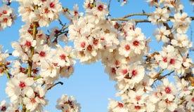 Λουλούδια αμυγδάλων Στοκ Εικόνες