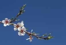 Λουλούδια αμυγδάλων Στοκ φωτογραφία με δικαίωμα ελεύθερης χρήσης