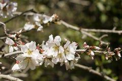 Λουλούδια αμυγδάλων Στοκ εικόνα με δικαίωμα ελεύθερης χρήσης