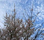 Λουλούδια αμυγδαλιών με το μπλε ουρανό με το υπόβαθρο σύννεφων Στοκ Εικόνες