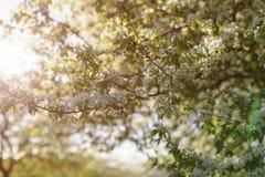 Λουλούδια ανθών δέντρων της Apple στην ηλιόλουστη ημέρα Στοκ Εικόνες
