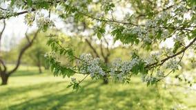 Λουλούδια ανθών δέντρων της Apple στην ηλιόλουστη ημέρα Στοκ εικόνα με δικαίωμα ελεύθερης χρήσης