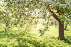 Λουλούδια ανθών δέντρων της Apple στην ηλιόλουστη ημέρα Στοκ φωτογραφίες με δικαίωμα ελεύθερης χρήσης
