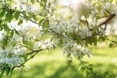Λουλούδια ανθών δέντρων της Apple στην ηλιόλουστη ημέρα Στοκ Εικόνα