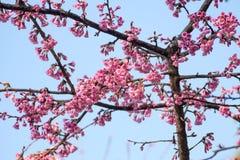 Λουλούδια ανθών ή sakura κερασιών στο βουνό Doi angkhang, chiang Στοκ Εικόνες