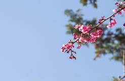 Λουλούδια ανθών ή sakura κερασιών στο βουνό Doi angkhang, chiang Στοκ εικόνες με δικαίωμα ελεύθερης χρήσης