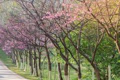 Λουλούδια ανθών ή sakura κερασιών στο βουνό Doi angkhang, chiang Στοκ εικόνα με δικαίωμα ελεύθερης χρήσης