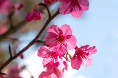 Λουλούδια ανθών ή sakura κερασιών στο βουνό Doi angkhang, chiang Στοκ φωτογραφία με δικαίωμα ελεύθερης χρήσης