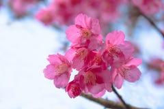 Λουλούδια ανθών ή sakura κερασιών στο βουνό Doi angkhang, chiang Στοκ Εικόνα