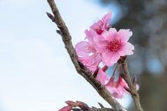 Λουλούδια ανθών ή sakura κερασιών στο βουνό Doi angkhang, chiang Στοκ Φωτογραφίες