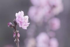 Λουλούδια ανθών ροδάκινων Στοκ φωτογραφία με δικαίωμα ελεύθερης χρήσης