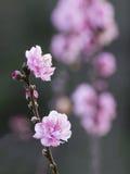 Λουλούδια ανθών ροδάκινων Στοκ εικόνες με δικαίωμα ελεύθερης χρήσης
