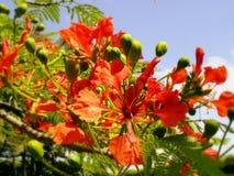 Λουλούδια ανθών στο κόκκινο, Κόστα Ρίκα Στοκ φωτογραφία με δικαίωμα ελεύθερης χρήσης