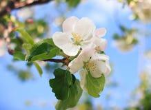 Λουλούδια ανθών της Apple ενάντια στο μπλε ουρανό Στοκ εικόνες με δικαίωμα ελεύθερης χρήσης