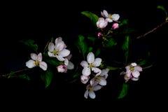 Λουλούδια ανθών της Apple που απομονώνονται σε ένα μαύρο υπόβαθρο Στοκ Φωτογραφία
