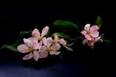 Λουλούδια ανθών της Apple που απομονώνονται σε ένα μαύρο υπόβαθρο Στοκ εικόνες με δικαίωμα ελεύθερης χρήσης