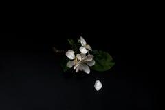 Λουλούδια ανθών της Apple που απομονώνονται σε ένα μαύρο υπόβαθρο Στοκ φωτογραφίες με δικαίωμα ελεύθερης χρήσης