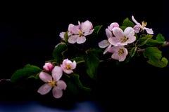 Λουλούδια ανθών της Apple που απομονώνονται σε ένα μαύρο υπόβαθρο Στοκ Φωτογραφίες