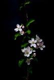 Λουλούδια ανθών της Apple που απομονώνονται σε ένα μαύρο υπόβαθρο Στοκ εικόνα με δικαίωμα ελεύθερης χρήσης