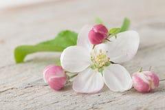 Λουλούδια ανθών της Apple Στοκ Εικόνες