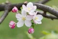 Λουλούδια ανθών της Apple Στοκ φωτογραφία με δικαίωμα ελεύθερης χρήσης