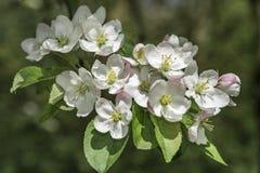 Λουλούδια ανθών της Apple Στοκ Φωτογραφία