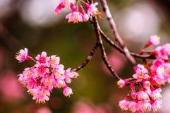 Λουλούδια ανθών τιγρών ή κερασιών λουλουδιών στο άνθισμα της Ταϊλάνδης Στοκ Φωτογραφίες