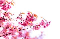 Λουλούδια ανθών τιγρών ή κερασιών λουλουδιών στο άνθισμα της Ταϊλάνδης Στοκ εικόνες με δικαίωμα ελεύθερης χρήσης