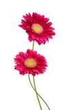 Λουλούδια ανθών Gerbera Στοκ Εικόνα
