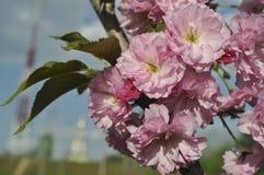 Λουλούδια ανθών Sakura Στοκ εικόνα με δικαίωμα ελεύθερης χρήσης