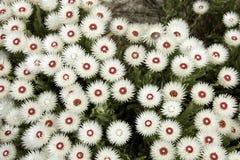 Λουλούδια από το ακρωτήριο της καλής ελπίδας Στοκ Εικόνες