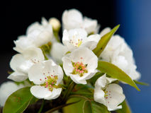 Λουλούδια αχλαδιού Στοκ Εικόνα