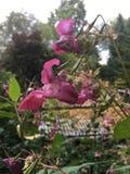 Λουλούδια βάλσαμου Himalayan και λοβοί σπόρου στοκ φωτογραφίες με δικαίωμα ελεύθερης χρήσης