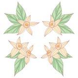 Λουλούδια βανίλιας Στοκ Φωτογραφία
