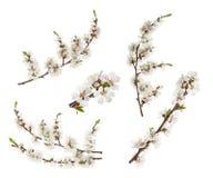 Λουλούδια βερίκοκων που απομονώνονται στο λευκό χωρίς σκιά στοκ εικόνα με δικαίωμα ελεύθερης χρήσης