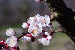 Λουλούδια βερίκοκων Στοκ φωτογραφία με δικαίωμα ελεύθερης χρήσης