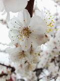 Λουλούδια βερίκοκων Στοκ εικόνες με δικαίωμα ελεύθερης χρήσης