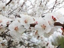 Λουλούδια βερίκοκων Στοκ Εικόνα