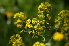 Λουλούδια βιασμών Στοκ Εικόνες