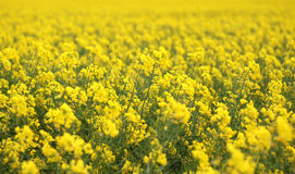 Λουλούδια βιασμών Eyeful Στοκ φωτογραφία με δικαίωμα ελεύθερης χρήσης