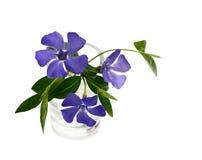 Λουλούδια βιγκών σε ένα μικρό βάζο στοκ φωτογραφία με δικαίωμα ελεύθερης χρήσης