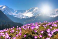 Λουλούδια βουνών στο υπόβαθρο των υψηλών αιχμών Στοκ εικόνα με δικαίωμα ελεύθερης χρήσης