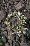 Λουλούδια γύρω από την πέτρα Στοκ Φωτογραφίες