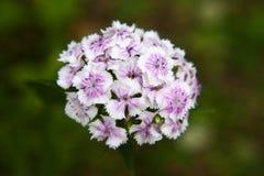 Λουλούδια γλυκού William Στοκ φωτογραφία με δικαίωμα ελεύθερης χρήσης